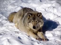 wolf information species shamans wiki fandom powered by wikia