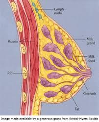 Female Breast Anatomy And Physiology Female Breast Anatomy Nonpareil 10 Discusses Anatomy Of Breast