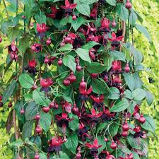 buy fuchsia lady in black plants j parker dutch bulbs