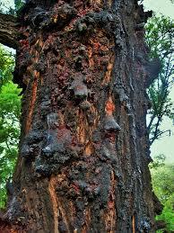 free photo tree silver oak trunk oak hardening resin max pixel