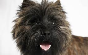 brindle cairn haircut 7 facts we bet you didn t know about the cairn terrier american