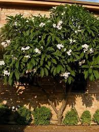 78 best hawaiian plants and trees images on tropical