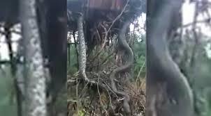 vidio film ular anaconda horor penebang pohon temukan ular raksasa sembunyi di akar global