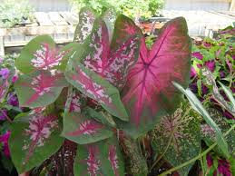 74 best caladiums images on pinterest elephant ears shade