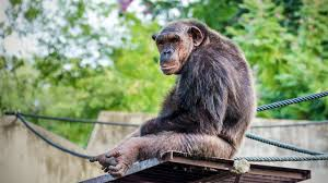 elderly chimps may get alzheimer u0027s renewing interest in studying