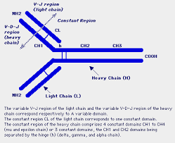 heavy chain light chain immunoglobulin genes concept of dna rearrangement