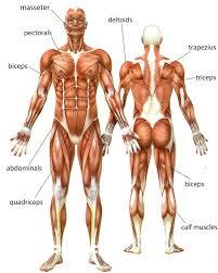 human muscle worksheets human anatomy educations