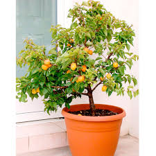 patio fruit tree sibleys apricot 1 apricot trees fruit trees