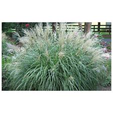 hameln grass ornamental grass 1 quart pot