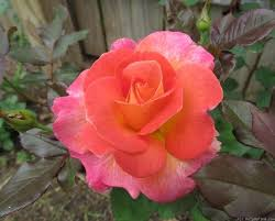 mardi gras roses 136 best roses images on photos php and roses