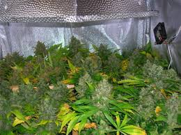 Northern Lights Outdoor Grow Atomic Northern Lights Hybrid Cannabis Marijuana Strain