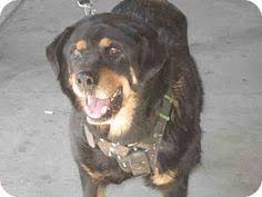 boxer dog adoption los angeles san jose ca german shepherd dog meet miko a dog for adoption