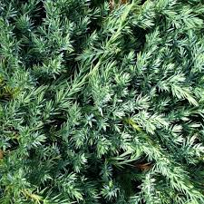 small pine trees blue carpet conifer small pine trees for privacy