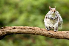 file a squirrel on a tree branch jpg wikimedia commons