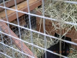 backyard rabbits hokusei kashinoki shiba and hokkaido ken 北西樫ノ木
