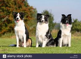 australian shepherd spaniel mix mixed breed dog and australian shepherds blue merle and black and