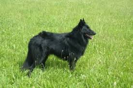 belgian sheepdog laekenois belgian sheepdog groenendael dog breed info u0026 pictures belgian