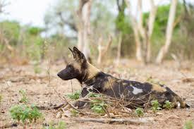 safari ltd african wild dog 10 animals you never knew were endangered