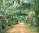 ปาล์มน้ำมัน : พืชให้ผลผลิตน้ำมันสูง ให้ต้นทุนการผลิตและราคาต่ำ ...