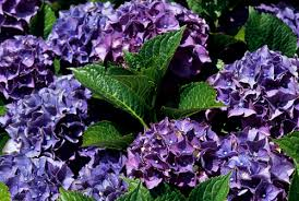 Purple Hydrangea View Plant Great Plant Picks