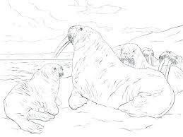 coloring page for walrus walrus coloring sheet eidolon info