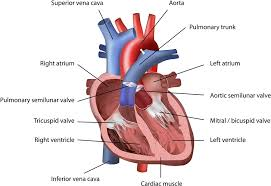 Gross Anatomy Of The Human Heart Is Your Heart Shaped Like A Heart Wonderopolis
