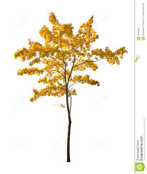 small gold isolated maple autumn tree isoalted white background