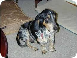 bluetick coonhound exercise rocky adopted dog overland park ks basset hound bluetick
