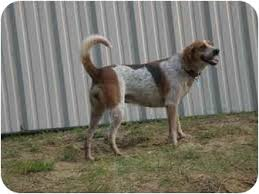 bluetick coonhound for sale in va tickle adopted dog franklin va bluetick coonhound treeing