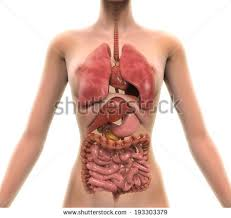 Female Abdominal Anatomy Pictures Abdominal Anatomy Stock Images Royalty Free Images U0026 Vectors