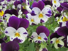 Spring Flower Pictures Free Photo Pansy Spring Flowers Free Image On Pixabay 1097907