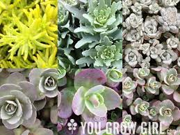 Rock Garden Succulents You Grow 6 Hardy Succulent Sedums For Your Garden And Pots