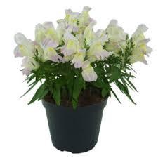 dalia in vaso solanum jasminoides vaso 17 floricoltura magnani di magnani