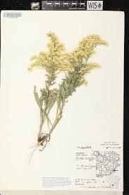 Wisconsin On Map by Online Virtual Flora Of Wisconsin Solidago Nemoralis Subsp
