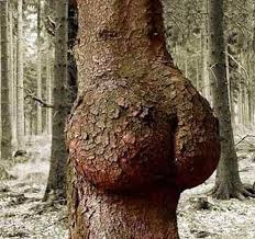 as thicc as a tree trunk
