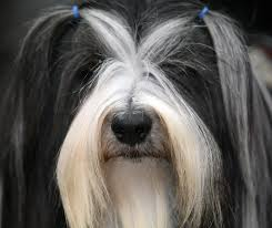 hair cuts for the tebelan terrier pictures of dog hairstyles popsugar pets