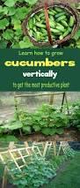 growing cucumbers vertically organic gardening