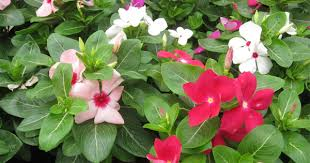 Vinca Flowers Want To See Flowers During The Entire Year Grow Attractive