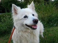 american eskimo dog adoption american eskimo dog spitz unknown type small mix dog for