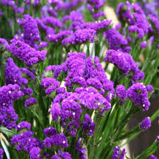 statice flowers statice seed purple limonium flower seeds