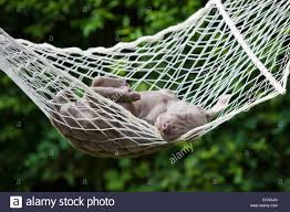 weimaraner dog puppy sleeping in a hammock north tyrol austria