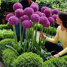 adarl 25pc package purple allium giganteum seeds