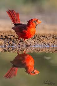 Cardinal Bird Home Decor 930 best cardinal images on pinterest cardinal birds cardinals