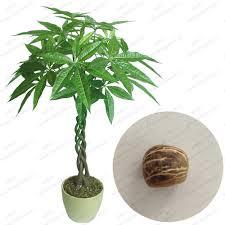 2017 pachira macrocarpa seeds 100 true bonsai tree seeds pachira
