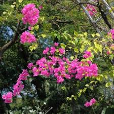 pink bougainvillea blooms in the garden ornamental climbing