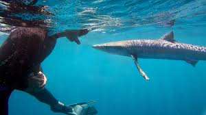 South Dakota snorkeling images Blue shark diving mako shark freediving snorkeling sdexpeditions jpg