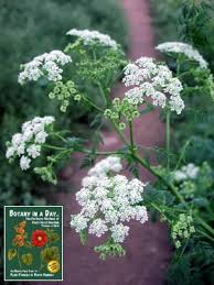 Identify Flowers - wildflowers and weeds identify plants flowers and weeds with