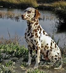 400 dalmatians images dalmatian puppies dogs