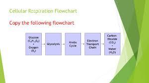 chart cellular respiration flow chart answers