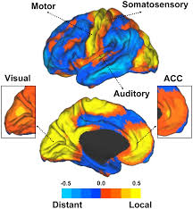 Human Brain Mapping The Organization Of Local And Distant Functional Connectivity In